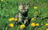 Волчонок в одуванчиках