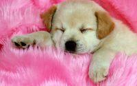 Забавный щенок в розовом пледе