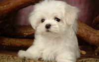 Белый пушистый щенок