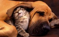 Котенок укрылся ухом собаки
