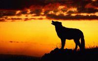 Силуэт волка на закате
