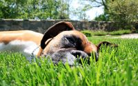 Боксер лежит в траве