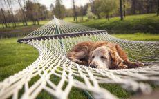 Собака спит в гамаке