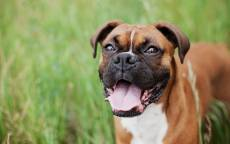 Собака, порода боксер, зеленая лужайка, собачьи уши