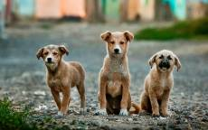 Три щенка, дворняжки, собаки, улица