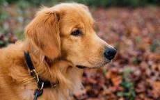 Золотистый ретривер, голден ретривер, охотничья собака