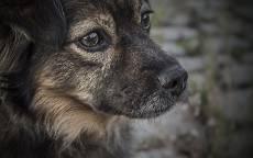 Собака, грусть, дворняжка, собачьи глаза