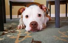 Собака лежит, собачий взгляд, ковер, мебель