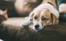 Собака на диване, взгляд дворняжки, лежачая собака