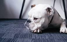 Белый бульдог, собачья морда, лапы