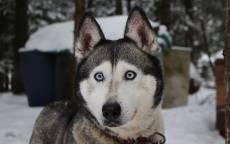 Собака, порода хаски, зима, голубые глаза, будка