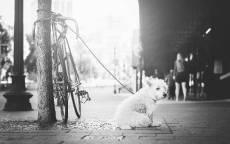 Черно белая фотография, белая собака, велосипед, стол, ожидание