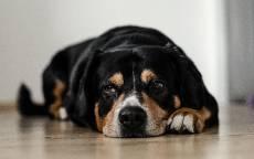 Отдыхающая собака, собачий взгляд, собака лежи
