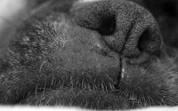 Черный нос собаки