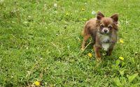 Карликовая собака Чихуахуа