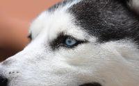 Голубые глаза Хаски