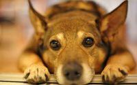 Гипнотический взгляд собаки