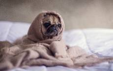 Собака, мопс, прикол, кровать, одеяло