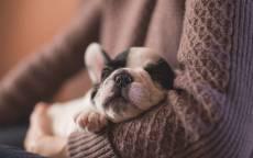Щенок, сон, свитер, бульдог, уют