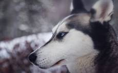 Собака, Сибирский хаски, голубые глаза