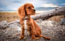 Рыжий щенок в ошейнике сидит на камне