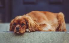 Рыжая собачка с грустными глазами