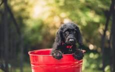 Черная собачка сидит в красном ведре
