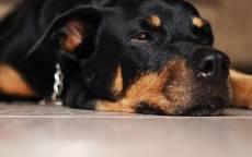 Домашний пес ротвейлер лежит на полу