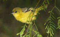 Маленькая желтая птичка