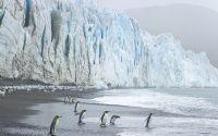 Пингвины входят в воду