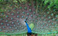 Павлин с распущенными перьями