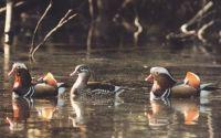 Красивые утки в пруду