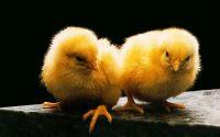 Желтые цыплята