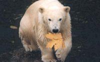 Белый медведь с кленовым листом