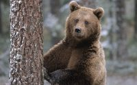 Бурый медведь у дерева
