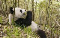 Обед панды