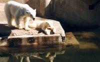 Семья белых медведий