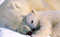 Белые медведи Медведица и дитя