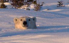 Голова белого медведя