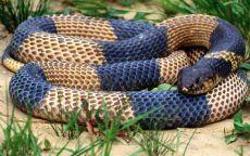Индийская змея