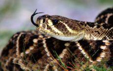 Язык змеи