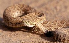 Гремучая змея в пустыне