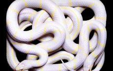 Белые змеи