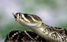 Голова гремучей змеи