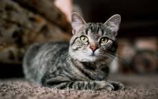 серый кот, домашний кот, взгляд кота
