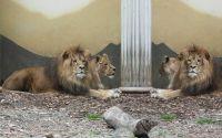 Львы лежат у колоны