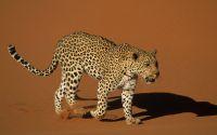 Гепард в пустыне