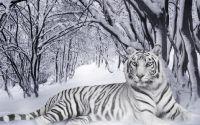 Белый тигр в зимнем лесу