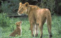 Львица с львенком