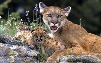 Пума с котятами
